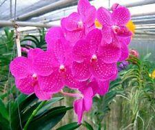 Live Orchid Plant Vanda Siriporn Pink Sathian Hot Pink
