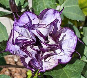 Angel Trumpet, Double Purple Datura Metel 'Fastuosa' Flower Seed, 25 Fresh - USA