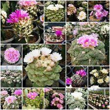 200 SEEDS : Ariocarpus MIXED FORM : Variegata, Godzilla, Cauliflower, hybrid etc
