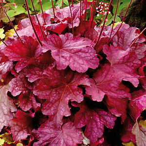 Heuchera 'Berry Smoothie' 9cm Plant x 2. Vivid foliage.