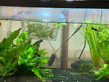 (10 Guppy Fry) Beautiful Tank Raised Guppies