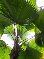 "1 1G Size Live Licuala grandis ""Ruffled Fan Palm"" Tree Seedling"