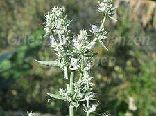 🔥 Salvia Apiana weisser Räucher Salbei 50 Samen