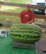 Giant Watermelon seeds - 291.4 lbs - Carolina Cross watermelon seeds