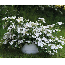 Hydrangea Hardy Shrub Plant RHS Chelsea Flower Show Plant of the Year 2018 T&M