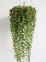 SENECIO ROWLEYANUS 1 x Esqueje suculenta 20 cm Cutting String Succulent plant