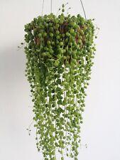 SENECIO ROWLEYANUS 1 x Esqueje Cutting String suculenta Succulent plant