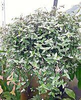 U Pick varieties Fancy leaved zonal regal geranium rooted cuttings plants x 3
