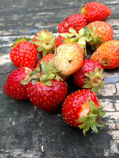 30 Super Sweet Strawberry Everbearing Plant Seeds -USA GROWN