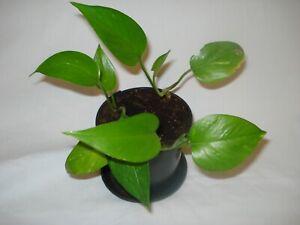 Devils Ivy Golden Pothos Epipremnum Aureum trailing climbing plant 22cm