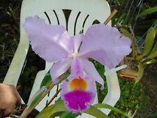 "Cattleya trianae 'Elegance' Bloom size 6"" pot Imported Species"