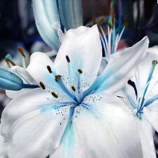 50pcs blaues Herz Lilie Blume Samen vergossen Bonsai Lilium Parfüm Pflanzensamen