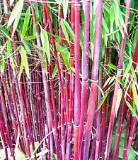 Roter Bambus ´Chinese Wonder´ der Blickfang - Winterhart , 20 Samen