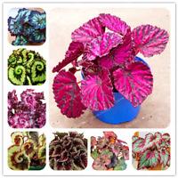 24 Colors Begonia Flowers Bonsai Courtyard Balcony Coleus Plants 100 PCS Seeds O
