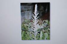 2 x 10 Samen Pitcairnia trianae, Bromelie, #222