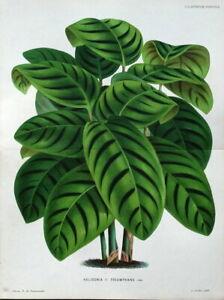 HELICONIA TRIUMPHANS Linden Double Size Antique Vintage Botanical  Print 1886