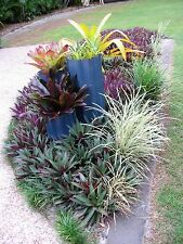 """6 RHOEO EXTREMELY HEALTHY 4""""-10cm landscaping plants"""