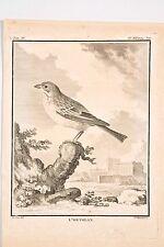 Histoire Naturelle Oiseaux Buffon v 1780 Mansard-de Sève L'Ortolan