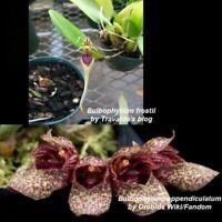 MLS52 Bulb. appendiculatum x frostii 2 3/4 in. Pot T595