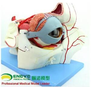 Human Eyeball Anatomical Model Eye Tissue Model Eye Medicine Eyelid Tear Gland