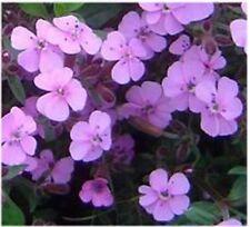 6 SAPONARIA OCYMOIDES 'TUMBLING TED' MEDIUM PLUG PLANTS - HARDY PERENNIAL