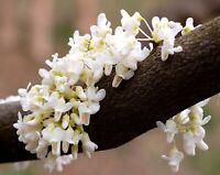 10 semi di Cercis siliquastrum var. alba**(albero di giuda a fiori bianchi)SEEDS