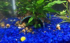 Live mystery snails