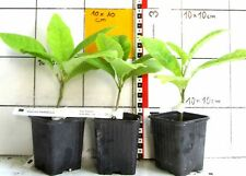 Magnolia  macrophylla    -     riesenblättrige Magnolie,   - Pflanze -