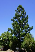 HOOP PINE TREES – ARAUCARIA CUNNINGHAMII – STATELY FOREST GIANT