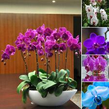 100 Phalaenopsis Moth Orchid Flower Seeds Rare Beautiful Bonsai Plants in Garden