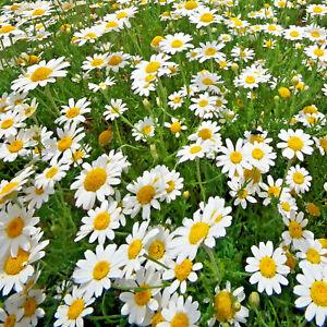 2,000 German Chamomile Seeds, BULK   Perennial Medicinal Herb, Flower, Free Ship