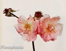 1980 Vintage 11x14 FLOWER Botanical Fine Art ROSE Photo Litho Plate IRVING PENN