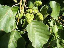 Communes aulne-alnus glutinosa - 25 graines-arbre-arbuste