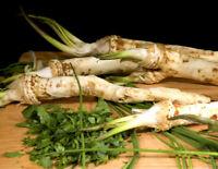 Raifort sauvage / Horseradish , racines tranchées ( floçons ) , Source de vit. C