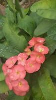Euphorbia Milii -Crown of Thorns Succulent Thai Hybrid - 1 CUTTING