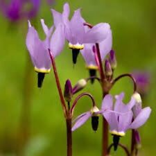 25+ Dodecatheon Purple Meadia Shade Loving Perennial Flower Seeds