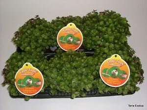 6 x Golliwoog Futterpflanze für Bartagamen, Vögel, Meerschweinchen, Kanninchen