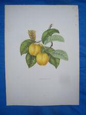 LITHOGRAPHIE VERS 1840 FRUIT WASHINGTON