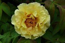 1x Paeonia suffruticosa / Tree Peony HARVEST - peonies RARE, Chinese Rose peonie