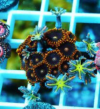 Purple Rain Zoa & Fireworks Clove Palythoa Zoanthids Paly Zoa Soft Coral Wysiwyg