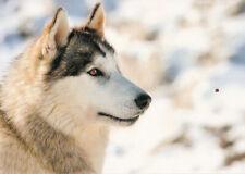 Polarhund * Schlittenhund * Husky * Malamute *  Dog  * Postkarte  *  Postcard 5