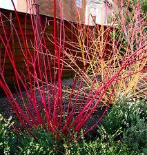 3 RARE & STUNNING Red stemmed Dogwood garden plant flowers shrub pot sun