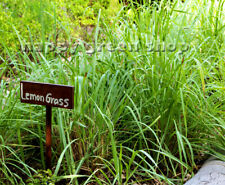 HERB - LEMON GRASS 300 SEEDS Cymbopogon flexuosushalfhardy - Halfhardy perennial