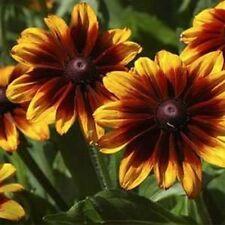 Rudbeckia-Hirta- Autumn Forest- 100 Seeds- BOGO 50% off SALE