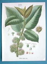 PANAMA RUBBER TREE Castilloa Elastica - Beautiful COLOR Botanical Print