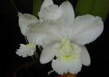 * Cattleya Aloha Case f alba (C Mini Purple x C walkereriana) - Orchid Plant