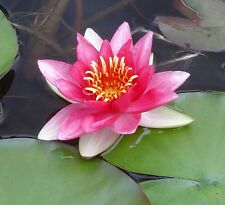 Bareroot Water Lily / Nymphaea - Mrs Richmond - Lovely healthy pond water plant.