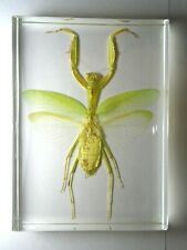 Praying Mantis HIERODULA VENOSA embedded in clear resin. Study or collector