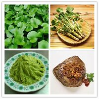 100 0r 200 Pcs Wasabi Seeds Horseradish Seed Japanese Vegetable Gifts.