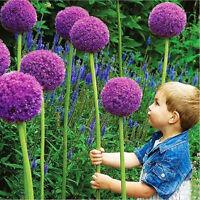 10Pcs Purple Giant Allium Giganteum Seeds Flower Plant Seed Home Garden Decor